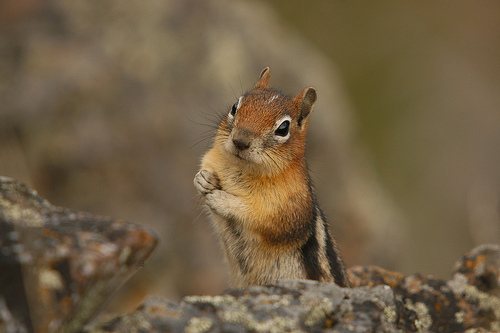 curious-chipmunk