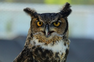 "Original Photo ""Wise Owl"" by Isolino @ flickr.com http://www.flickr.com/photos/isolino/6288990750/sizes/l/in/photostream/"